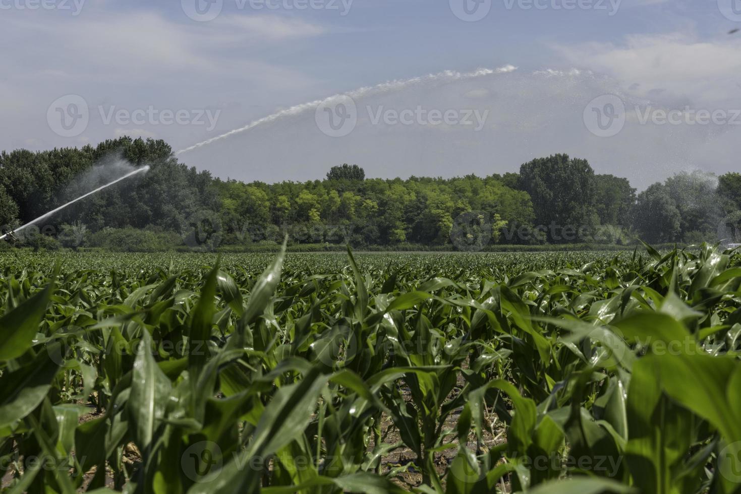 aspersor de irrigação em plantação de milho foto