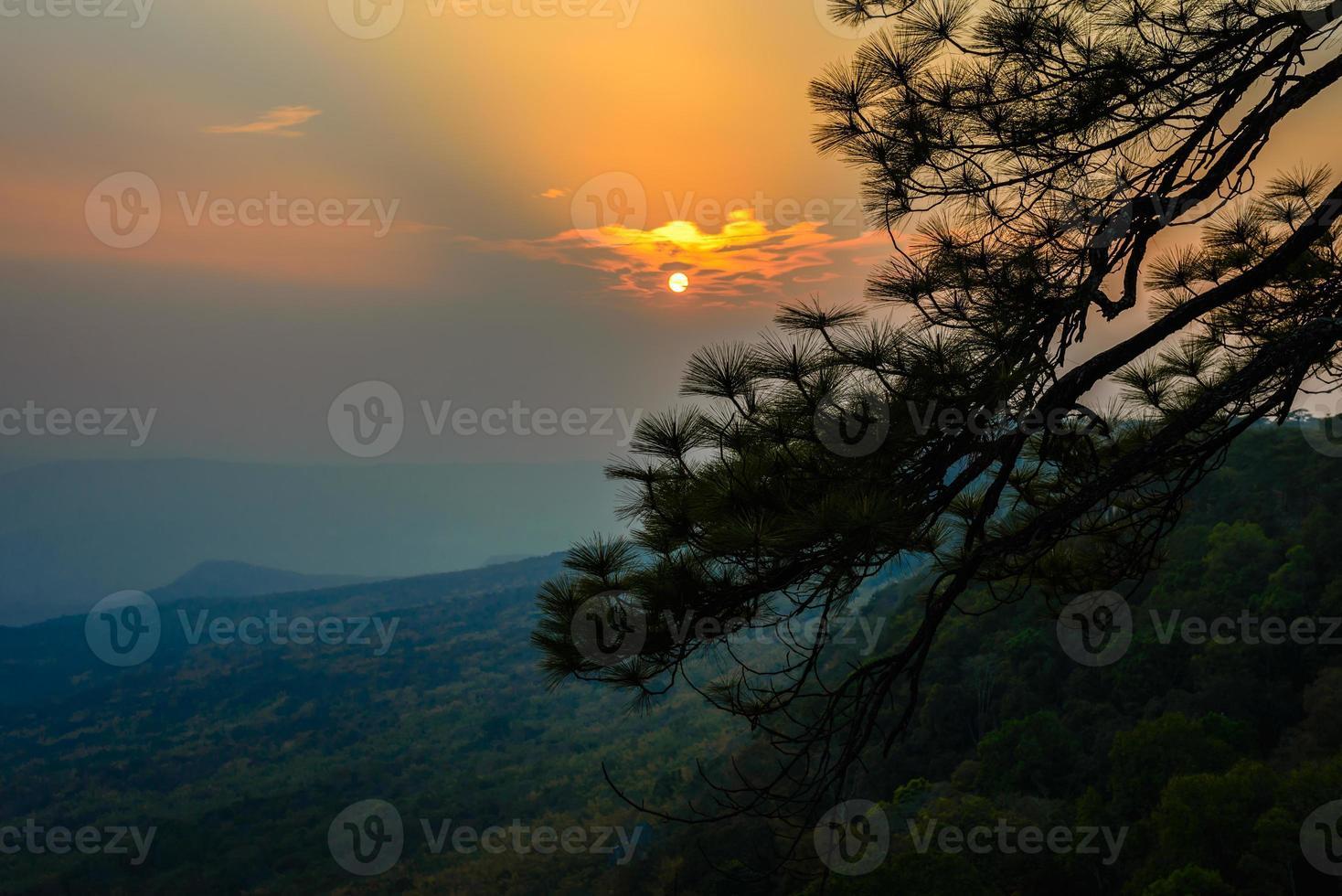 ramo de pinheiro com pôr do sol. foto