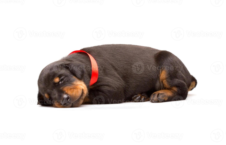cachorro doberman com fita vermelha foto