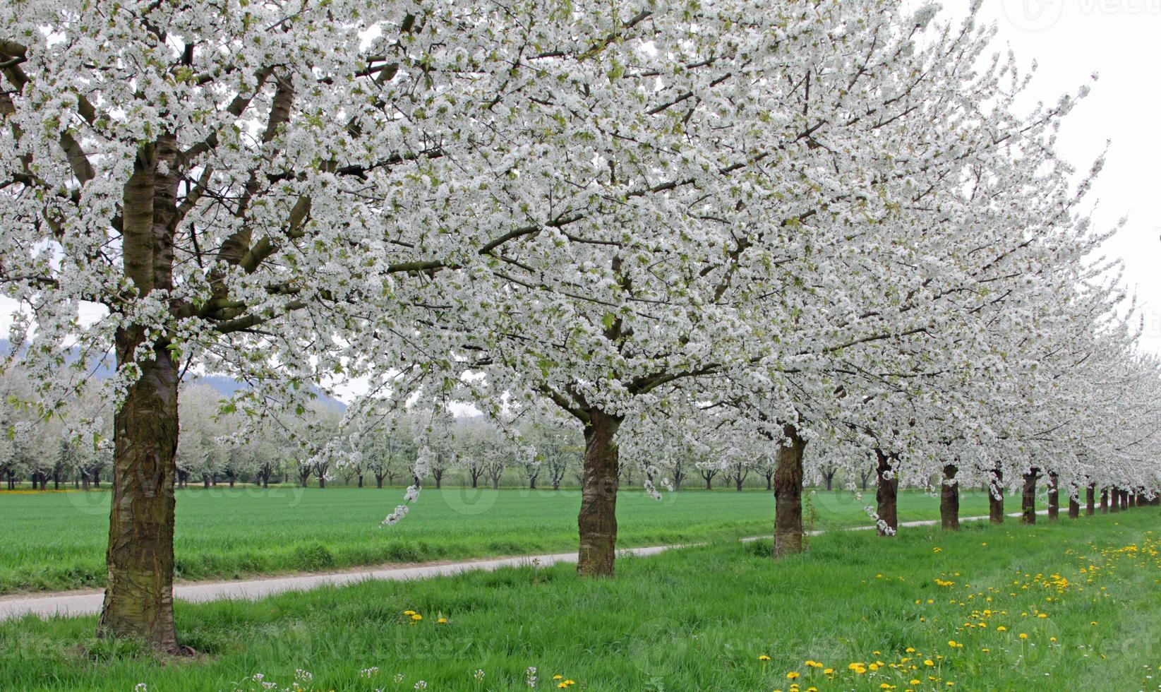plantação de cerejeira foto