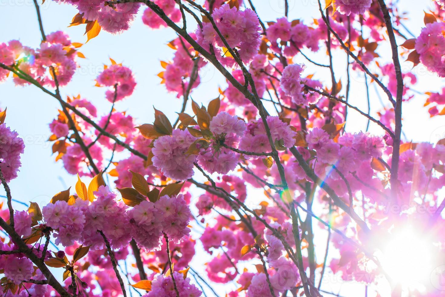 florescendo árvore de cerejeira dupla e luz do sol foto