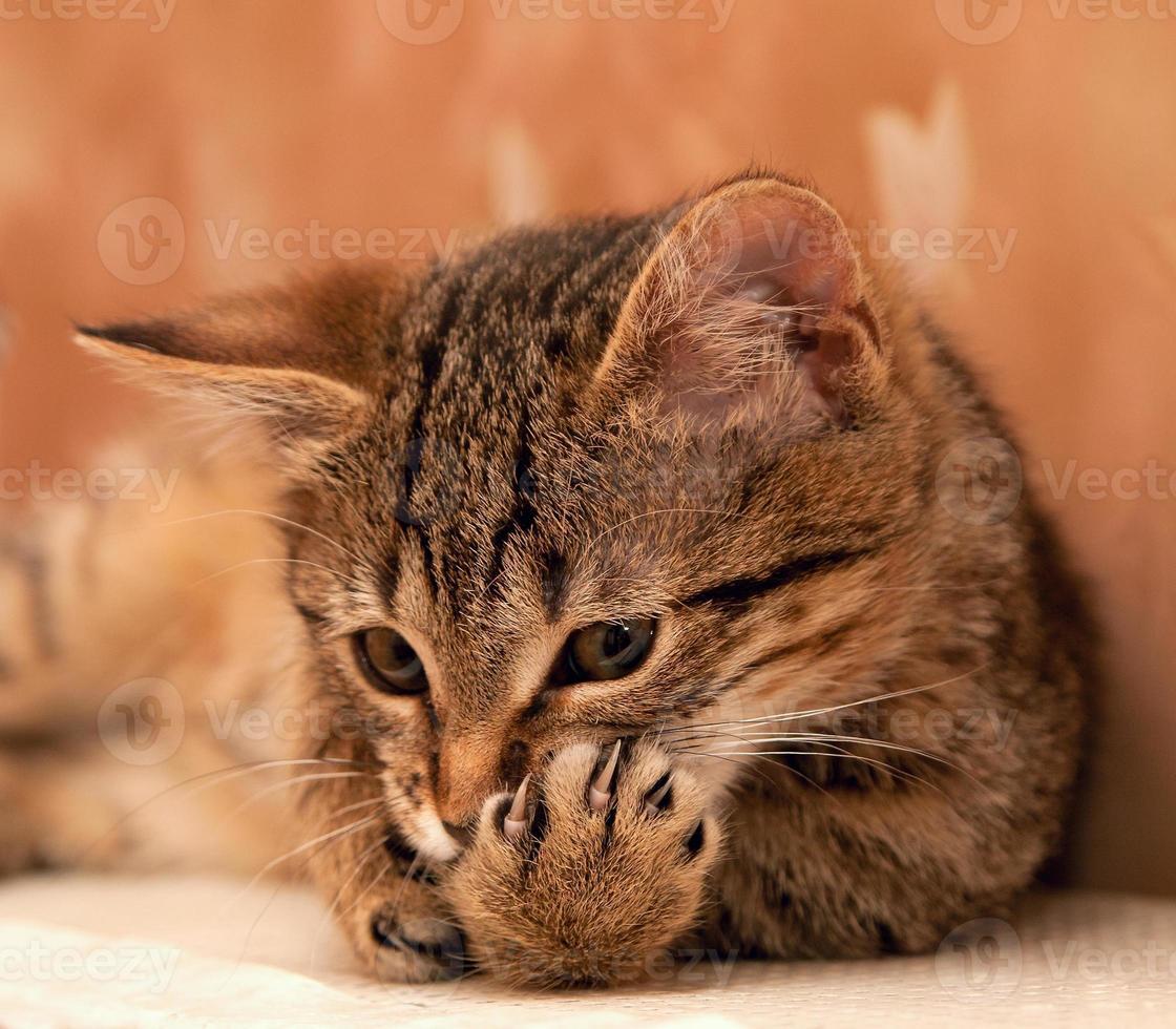 pata de limpeza de gato foto
