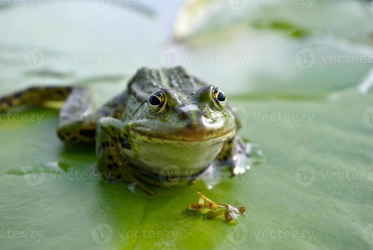 grande sapo verde sentado em uma folha de lírio verde foto