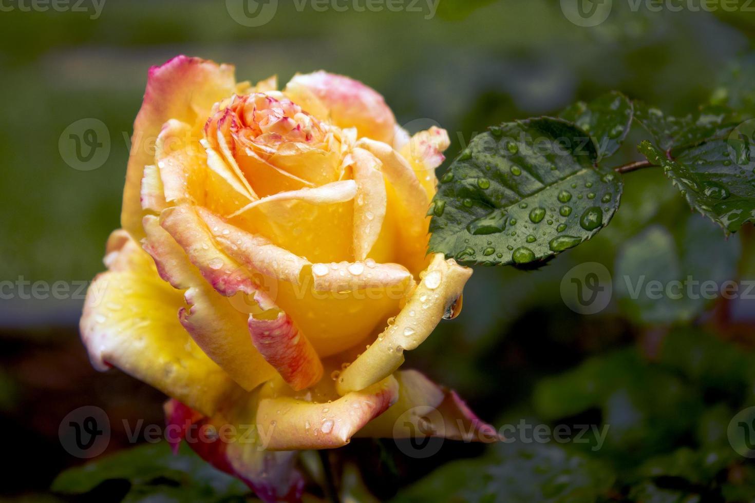 Jardim de rosas foto