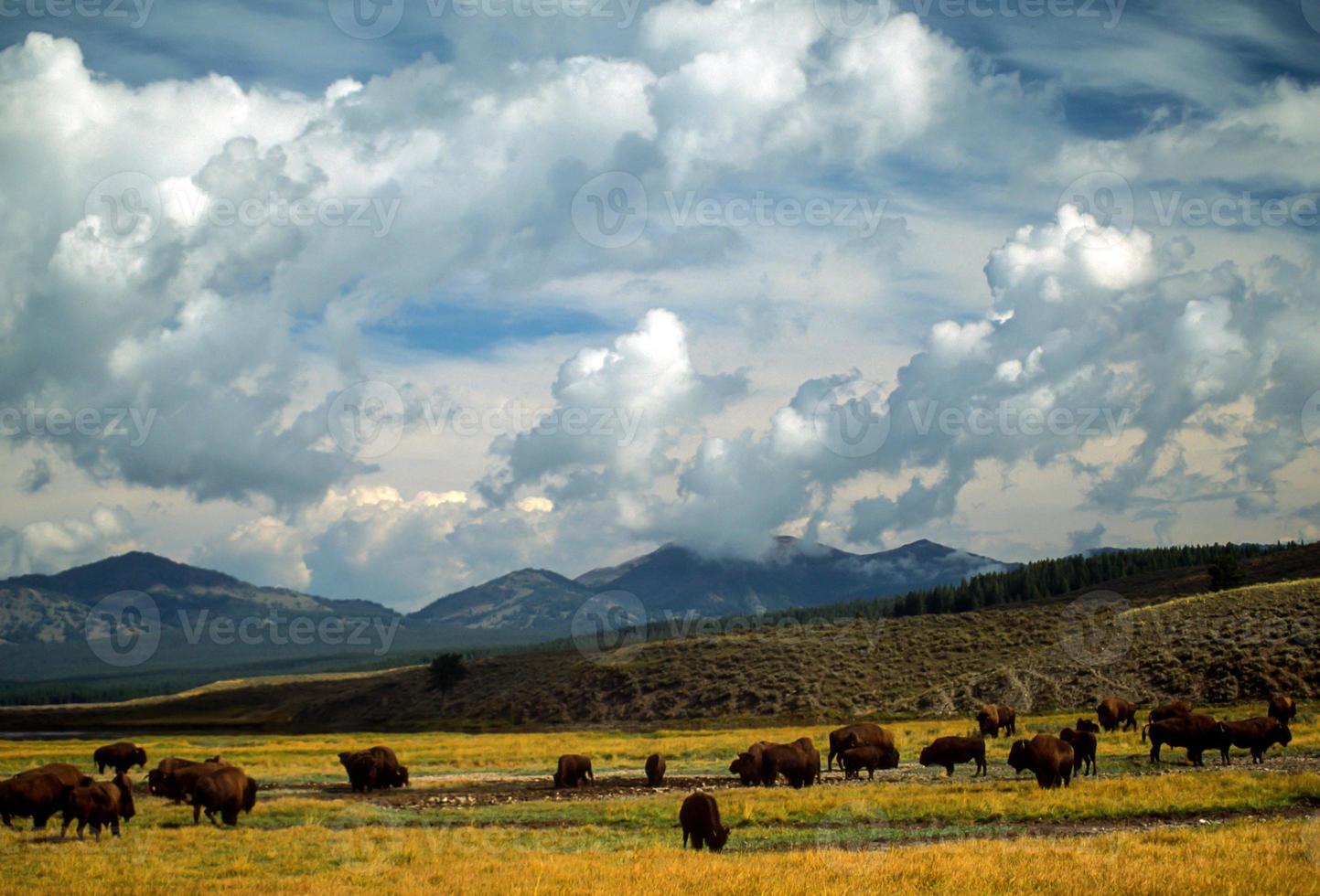 bisão no parque nacional de yellowstone foto