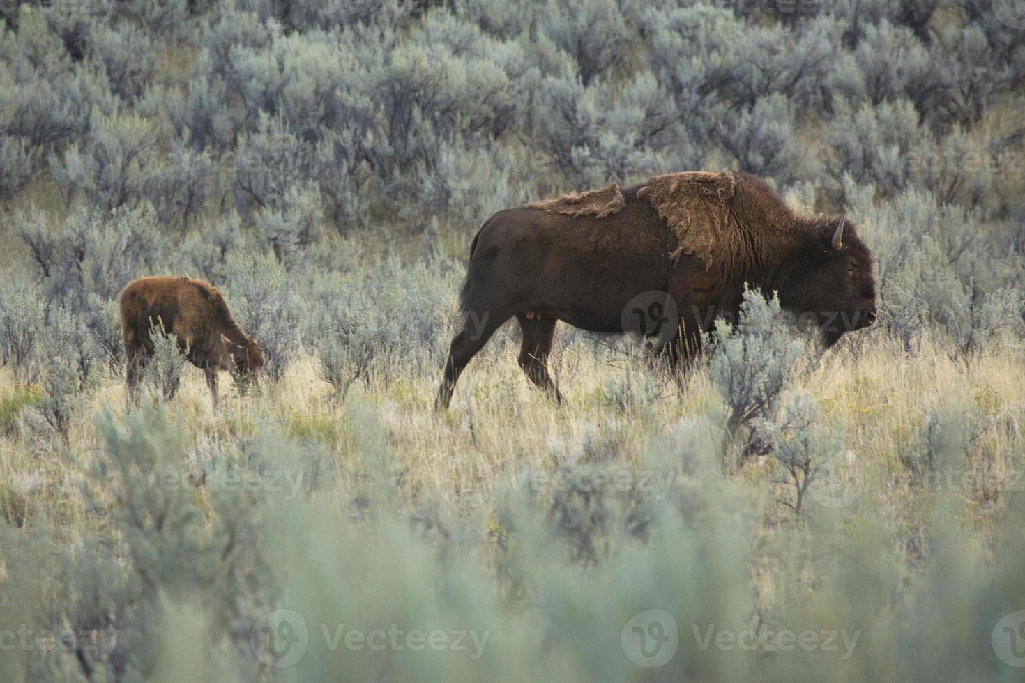 filhote de bisão jovem caminhando com sua mãe, par nacional de Yellowstone foto