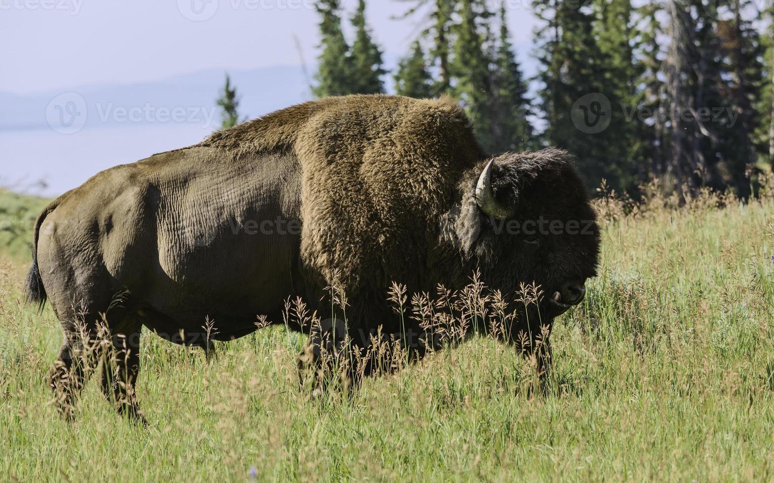 bisão pastando, parque nacional de yellowstone, eua. foto