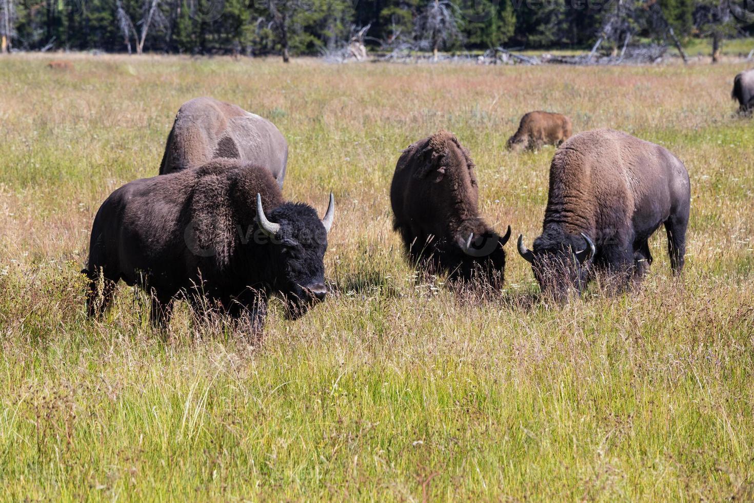 bisontes no parque nacional de yellowstone, wyoming, eua foto
