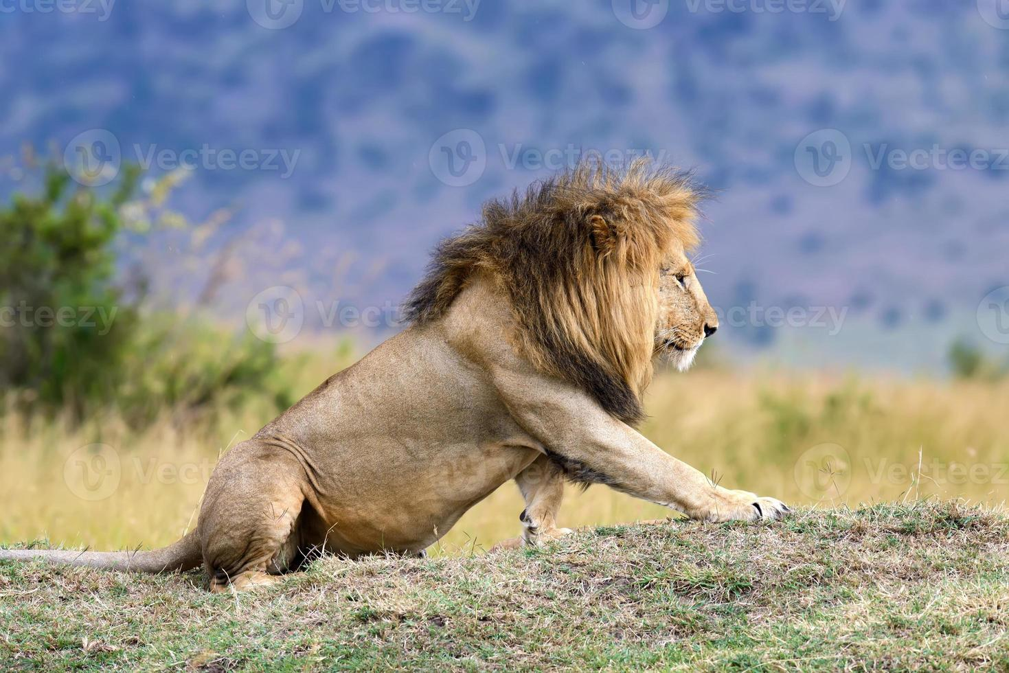 leão no parque nacional do quênia, áfrica foto