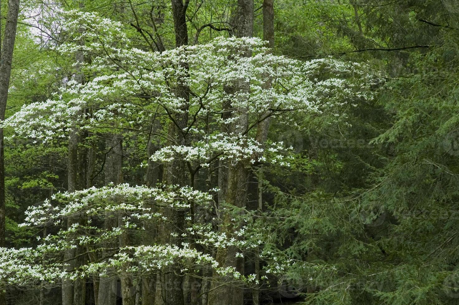 dogwood, spring, cades cove, great smoky mtns np foto