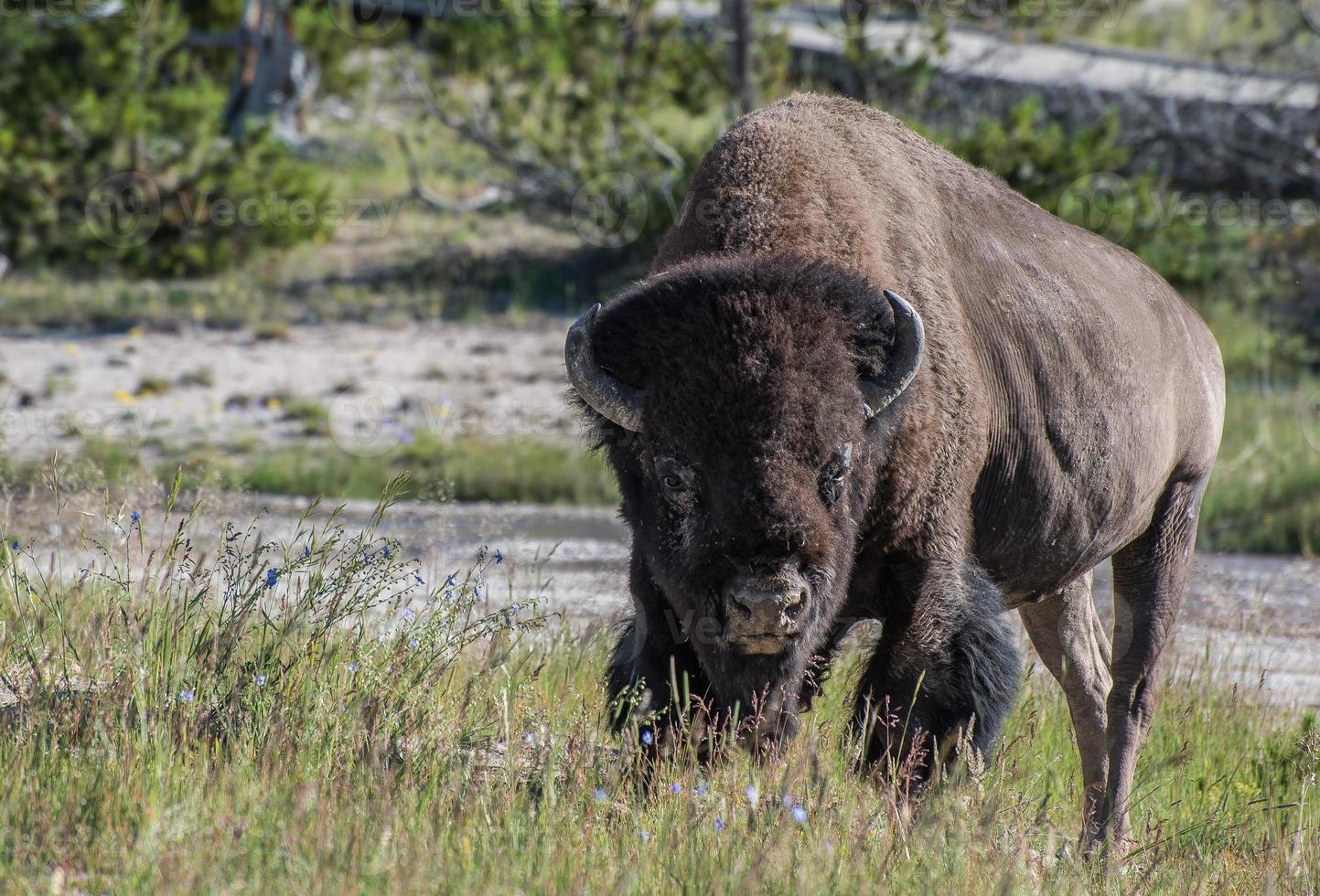 postura de búfalo foto