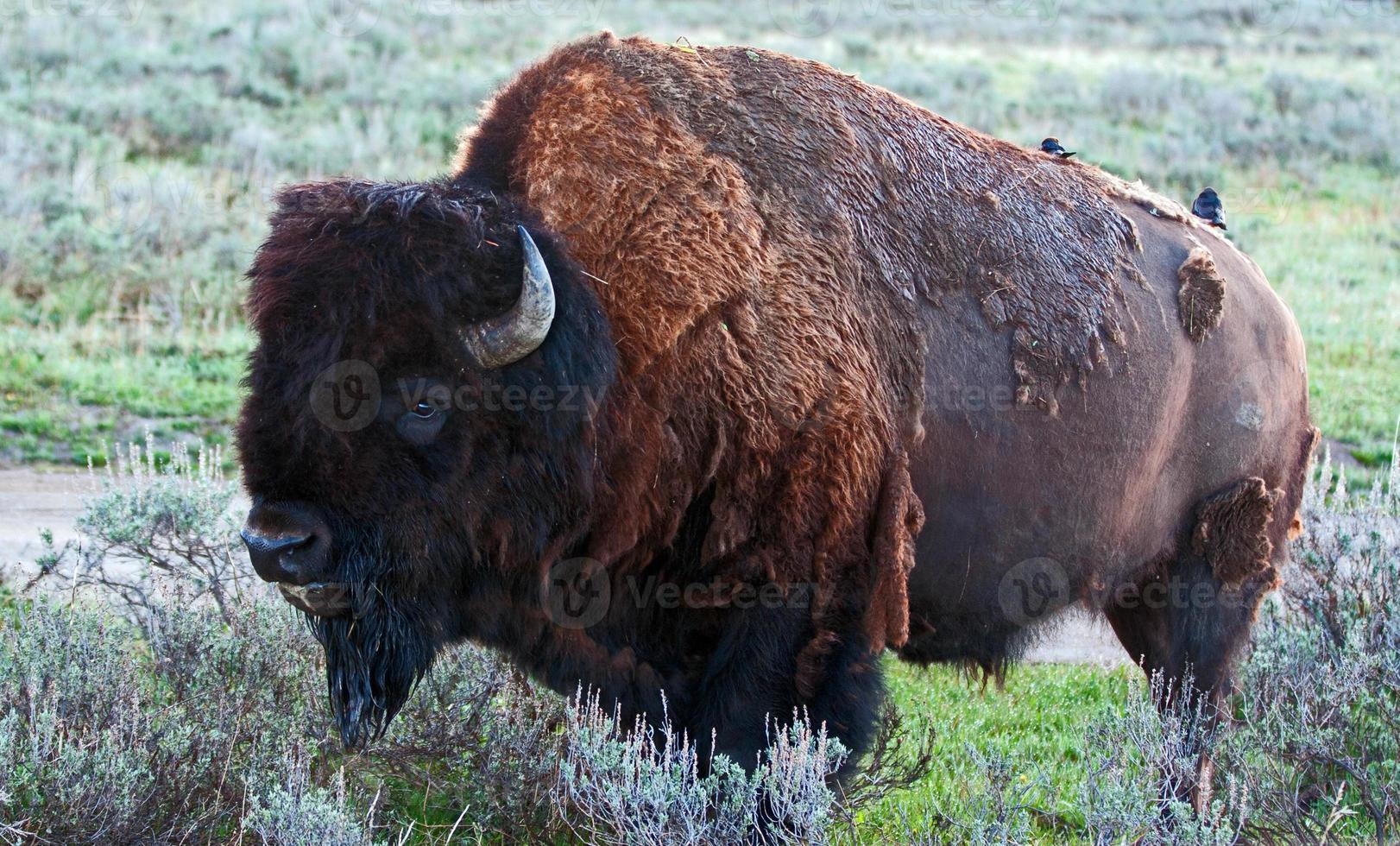 touro búfalo-bisão americano no parque nacional de yellowstone foto