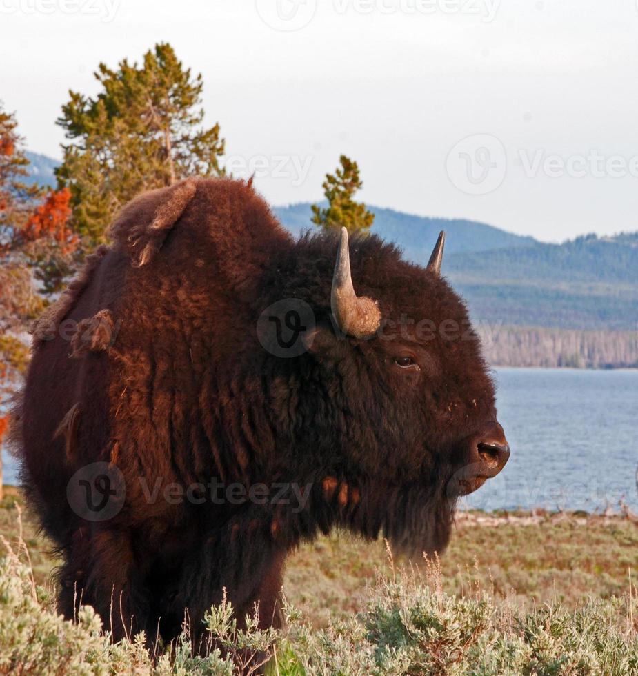 bisão búfalo touro no lago yellowstone em yellowstone np foto
