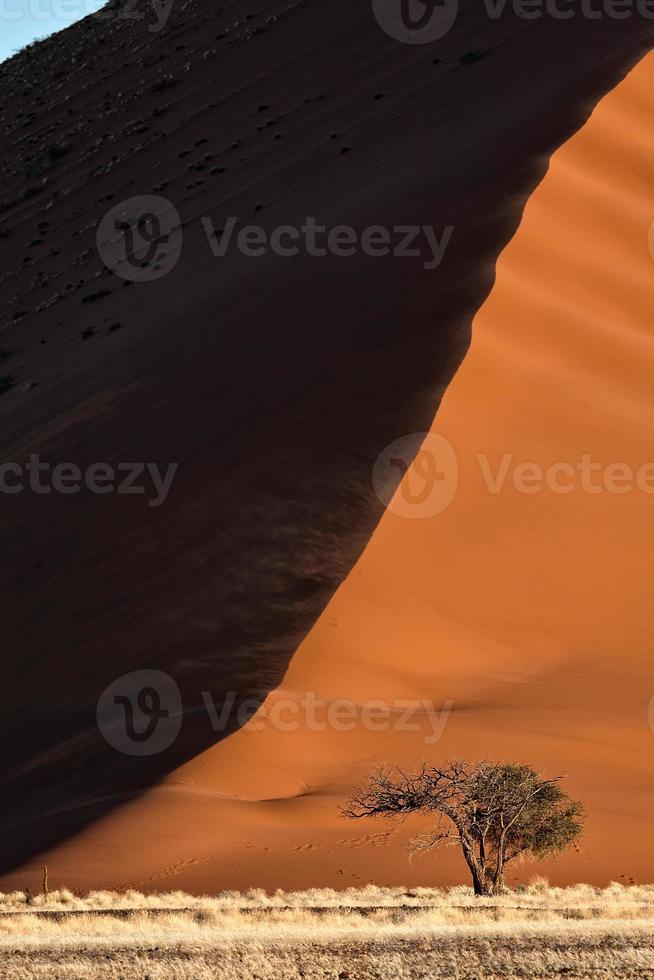 árvore de espinho de camelo anão foto