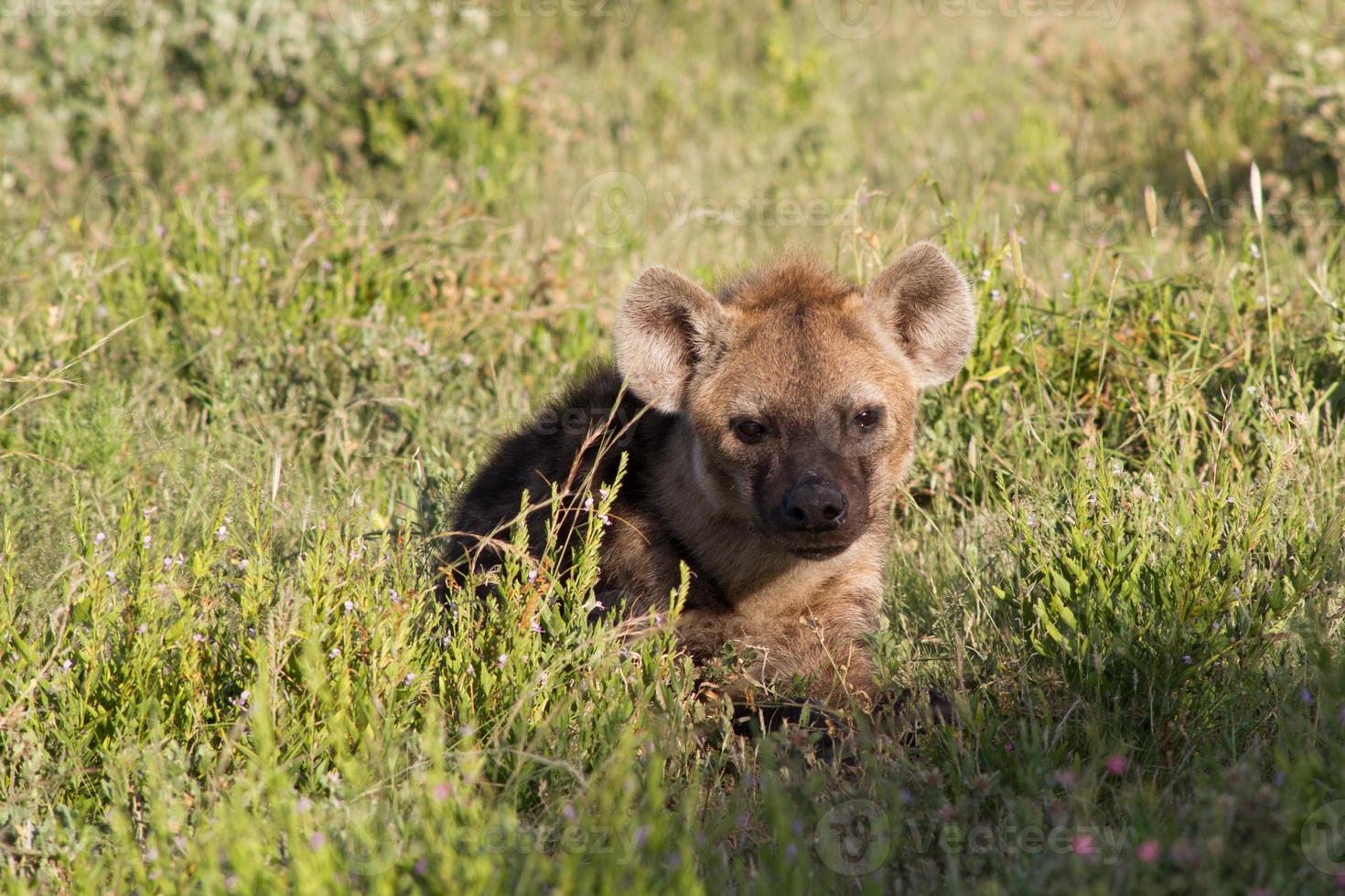 jovem hiena-pintada se escondendo na grama foto