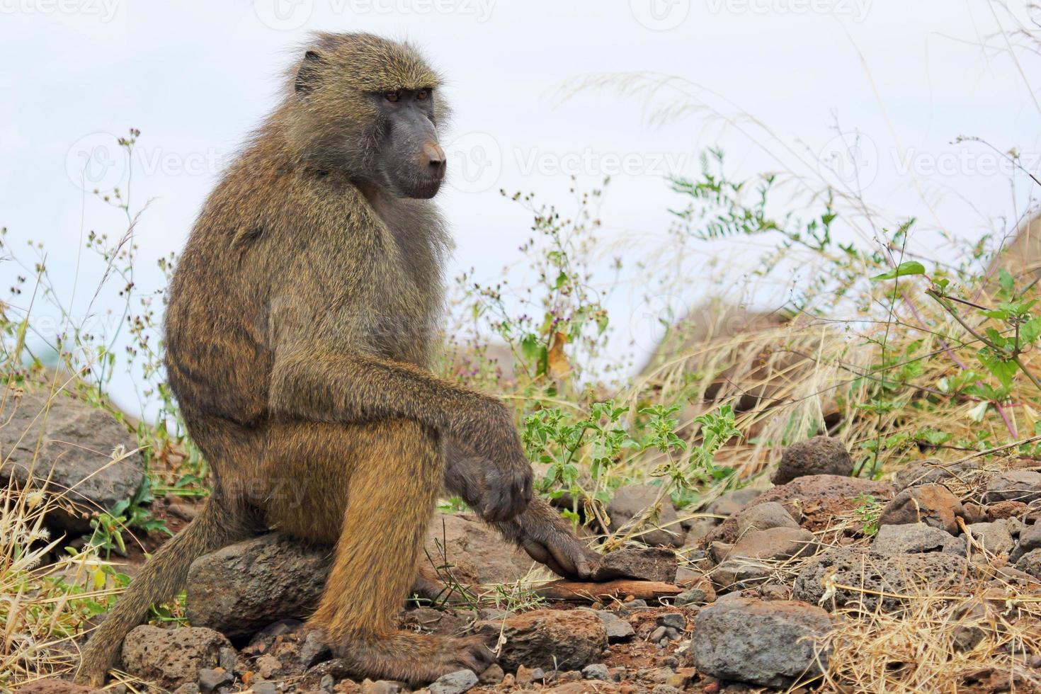 babuíno verde-oliva (papio anubis) sentado foto