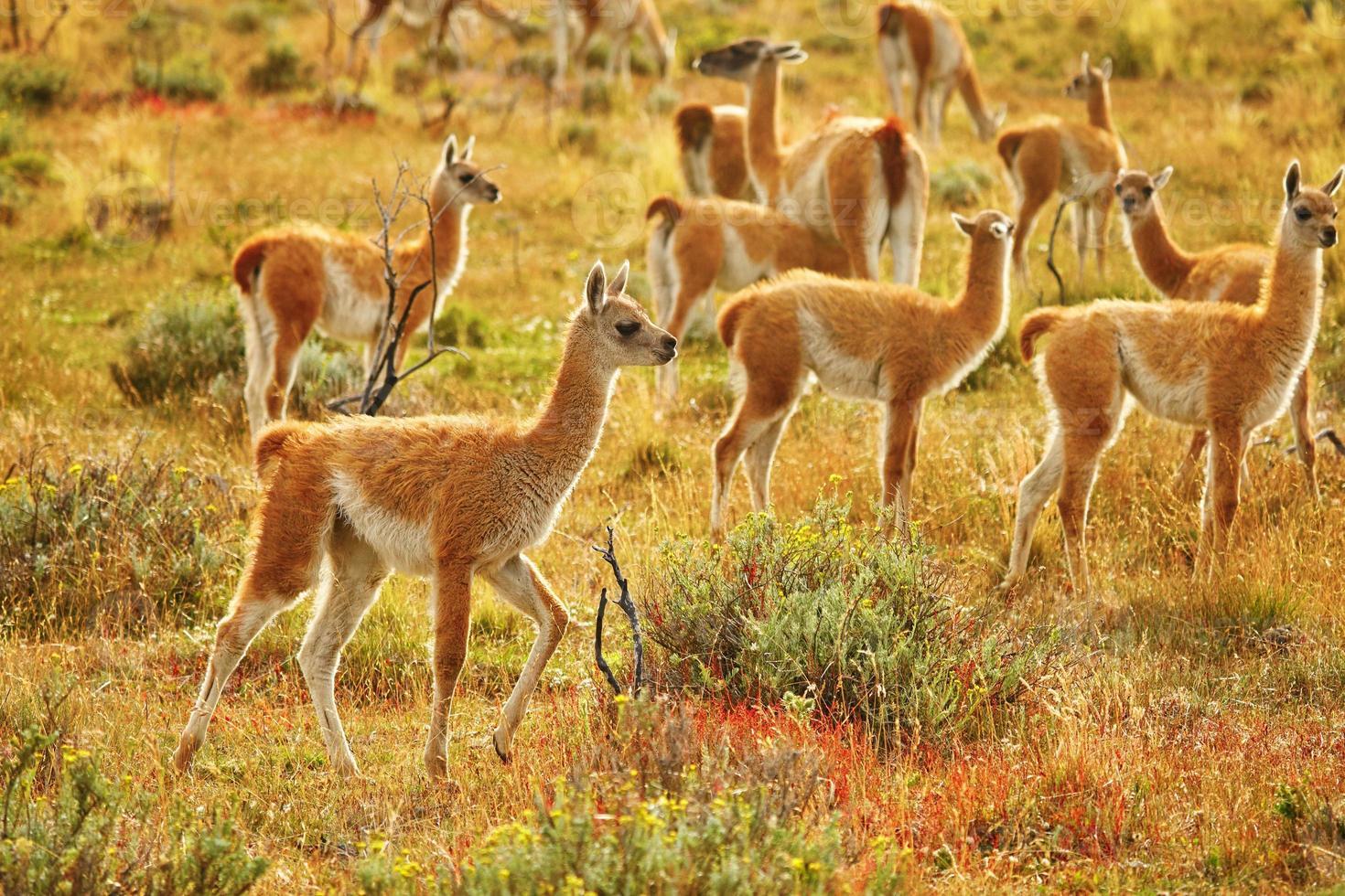 guanacões selvagens no parque natural de torres del paine foto