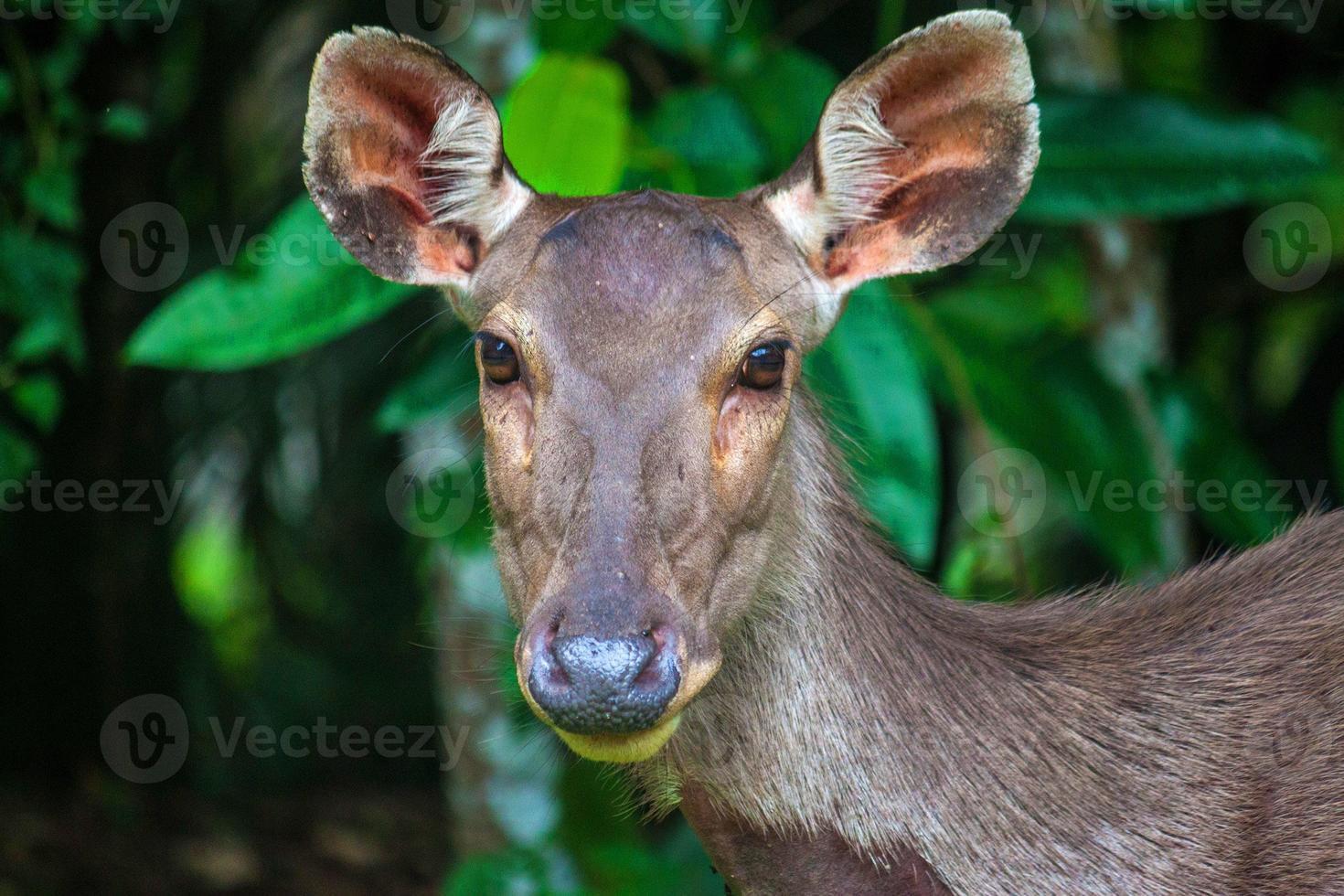 veado no parque nacional khao yai foto