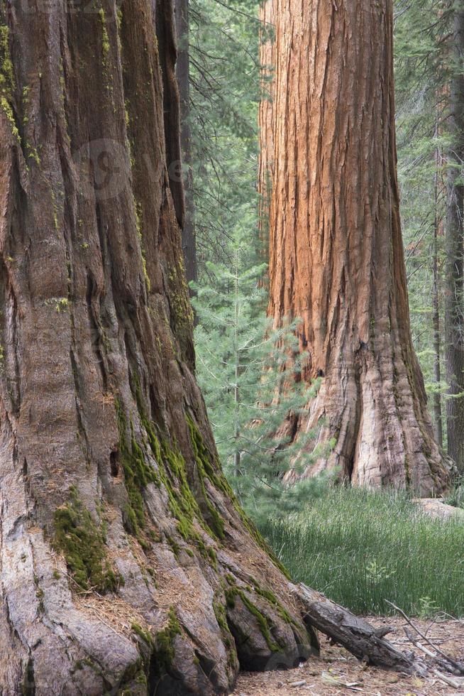 árvores de sequoia, seqouias, flores de dogwood foto