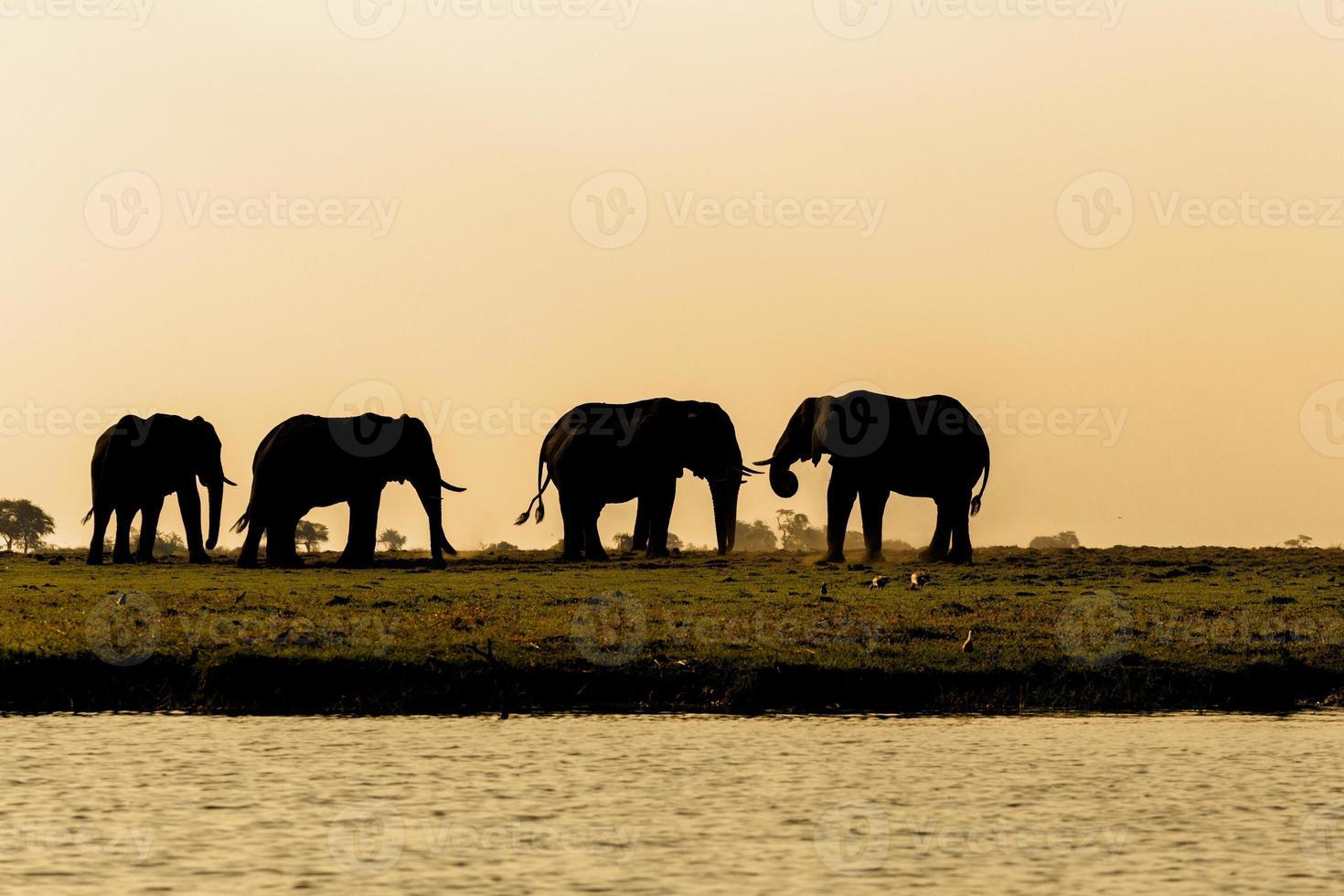 elefante africano no parque nacional de chobe foto