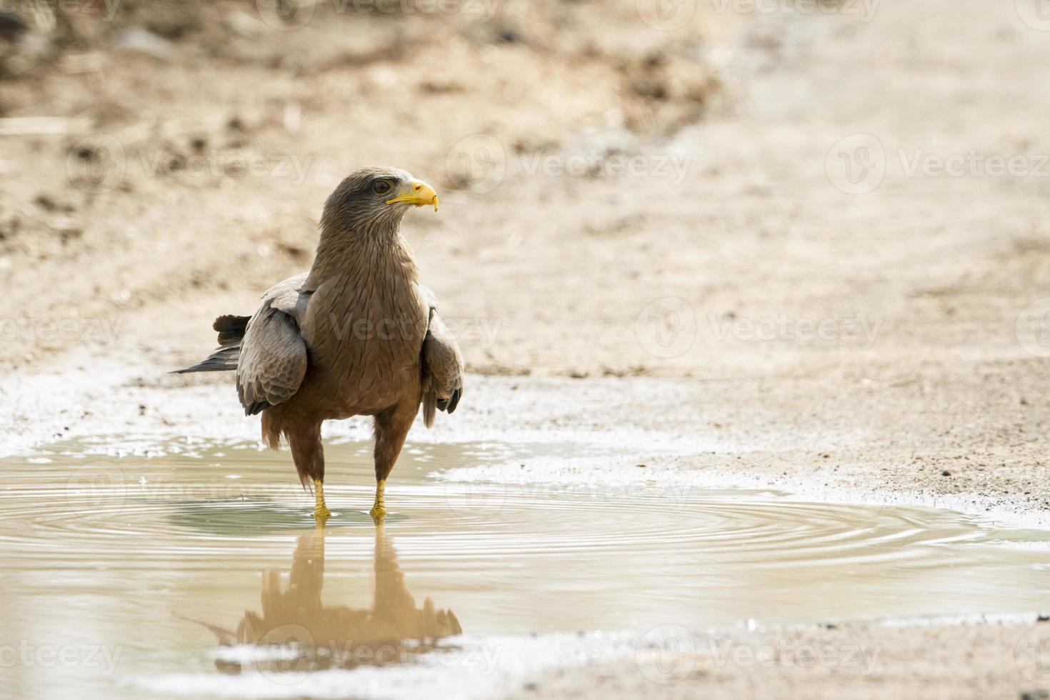águia fulva no parque nacional Kruger foto