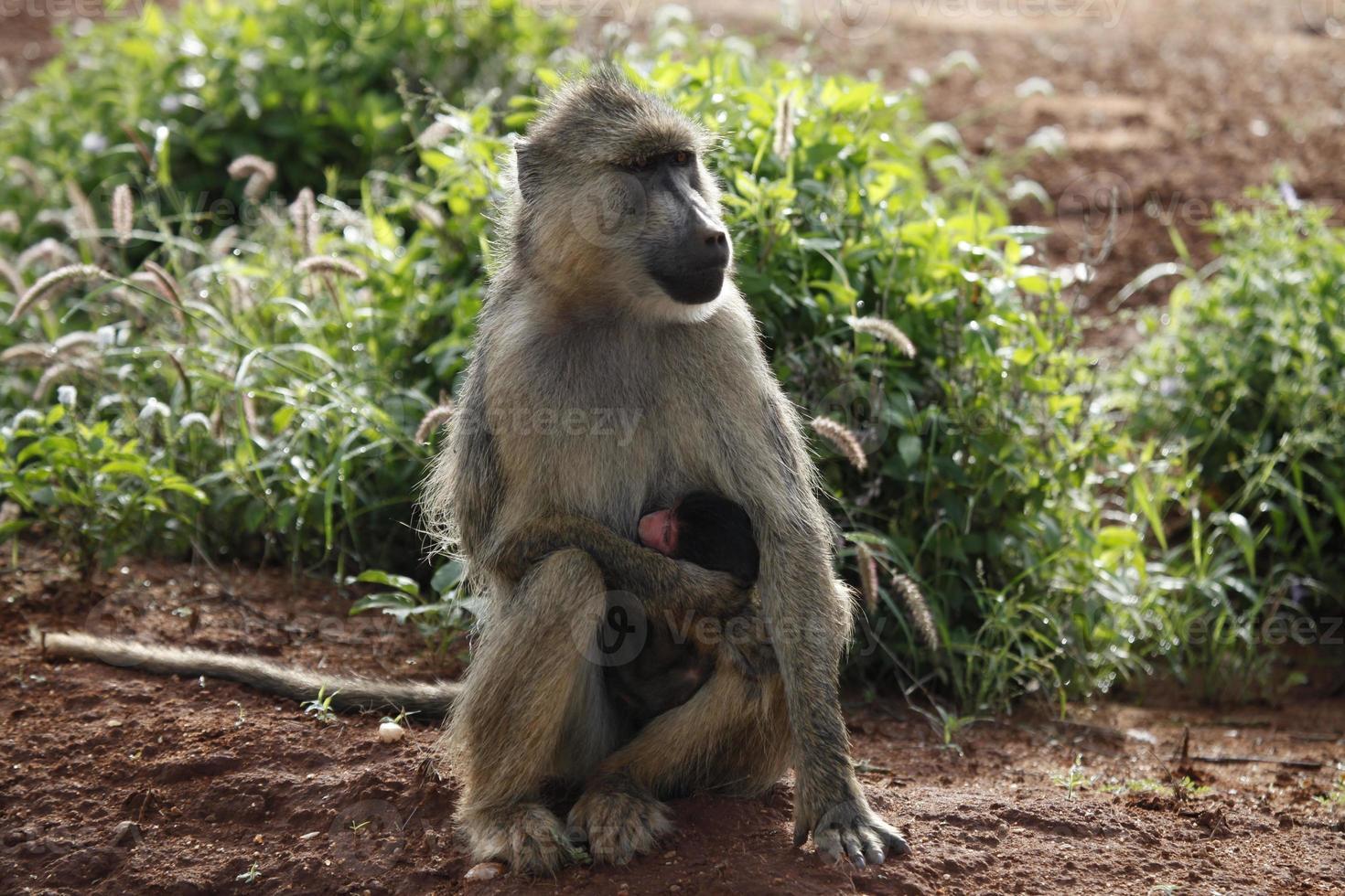 macacos no parque nacional tsavo east foto