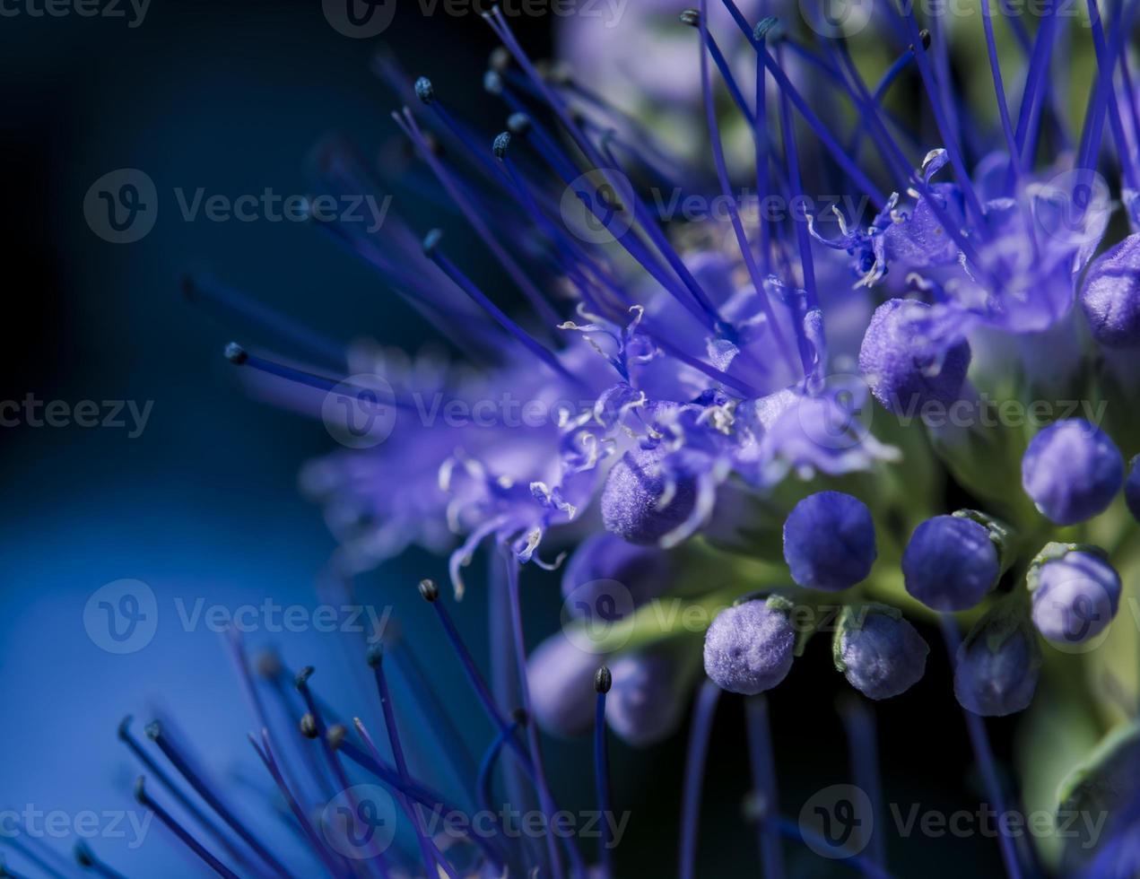 flores de barba azul foto