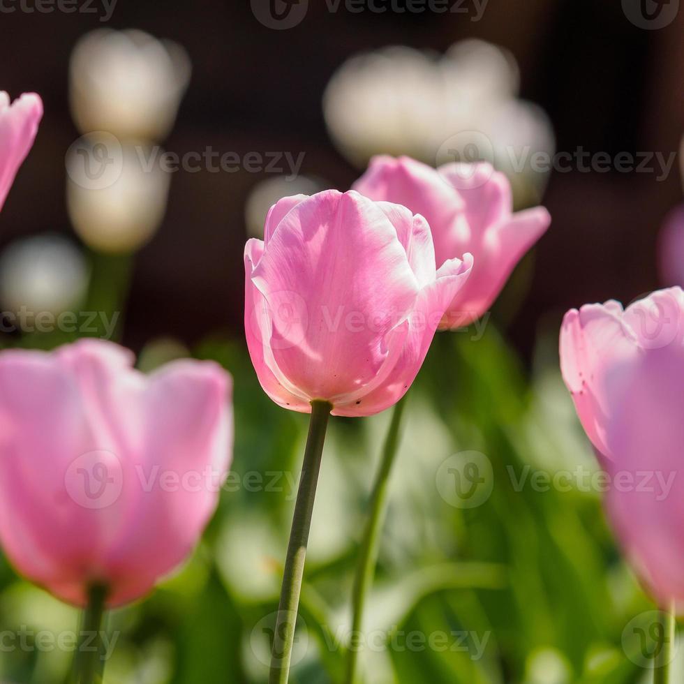 série flores da primavera, tulipas cor de rosa foto