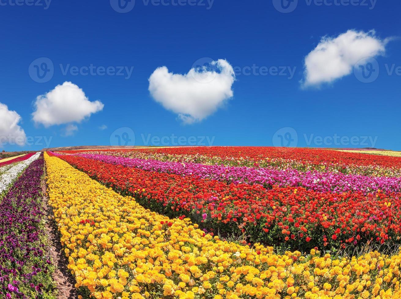 campos enormes de botões de ouro de jardim foto