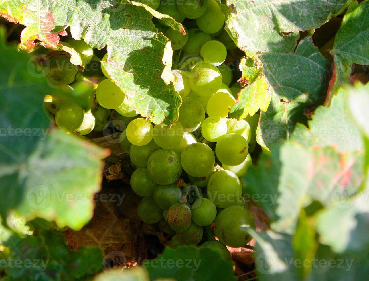 uvas para vinho branco na alsácia foto