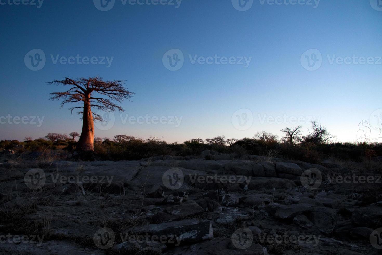 árvore baobá à luz da tarde foto