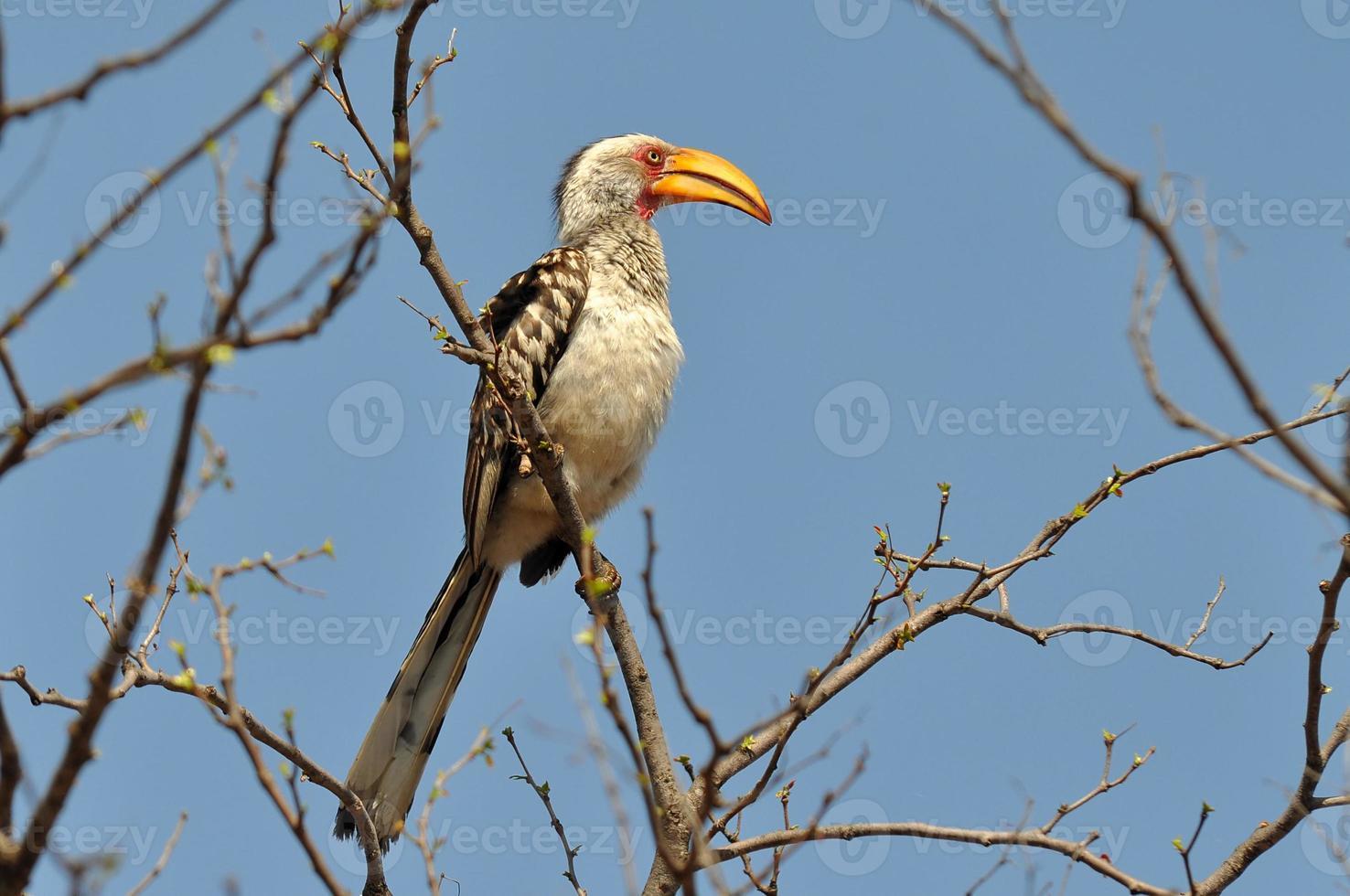 Calau-de-bico-amarelo meridional, áfrica do sul foto