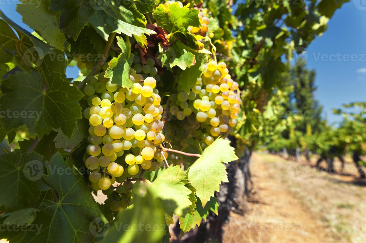 uvas para vinho branco foto