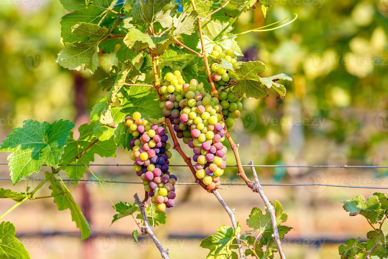 ramo de uvas jovens em videira em vinhedo foto