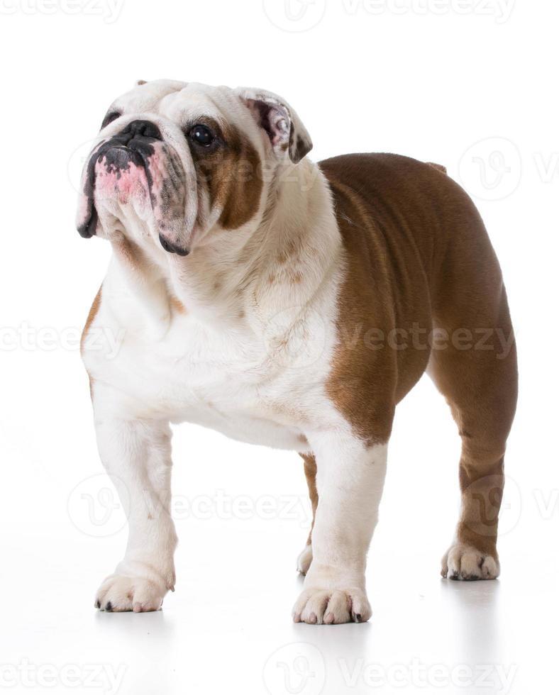 bulldog em pé foto