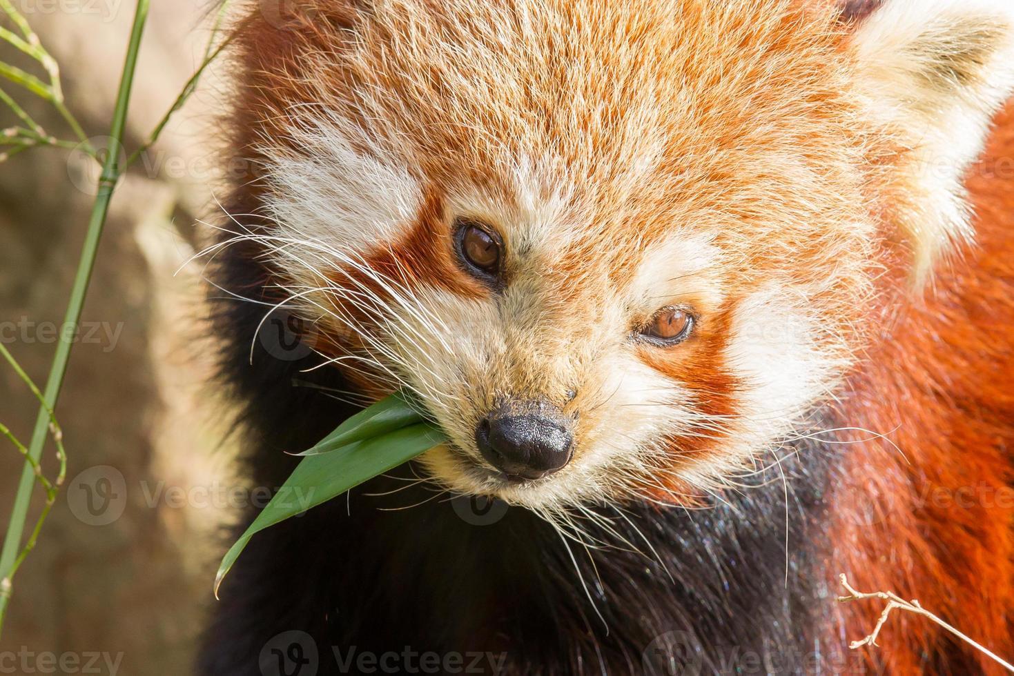 o panda vermelho, firefox foto