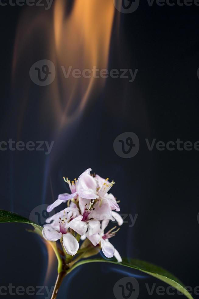 flor ardente foto