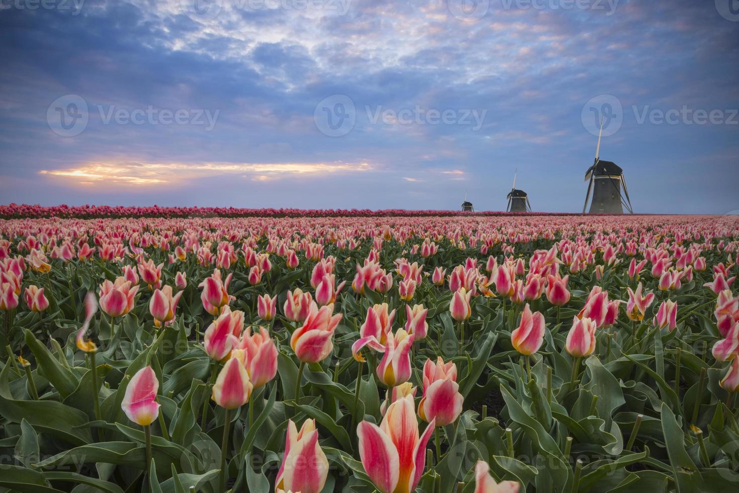 tulipas, moinhos e pôr do sol foto