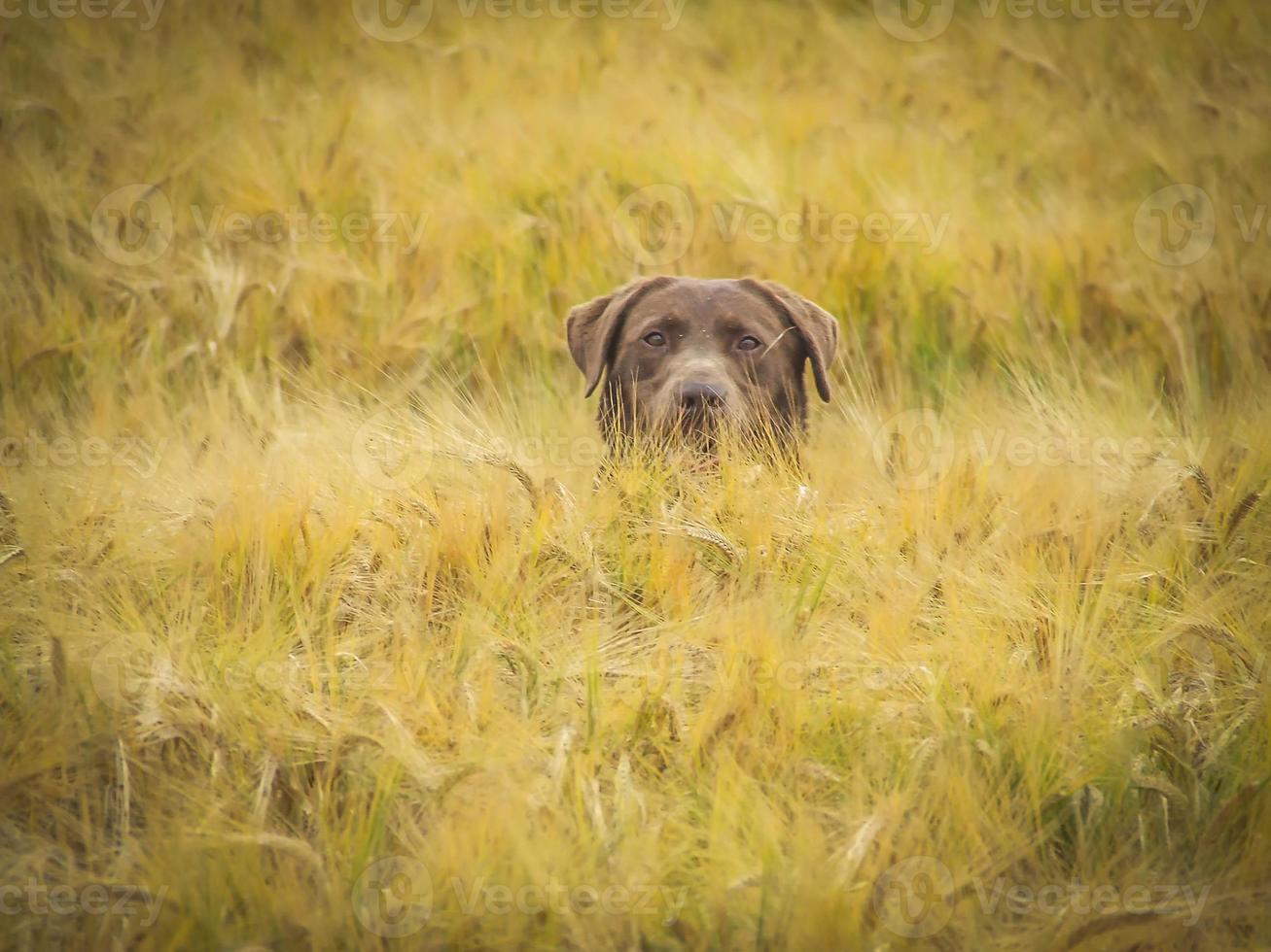 o cão armado esperando foto