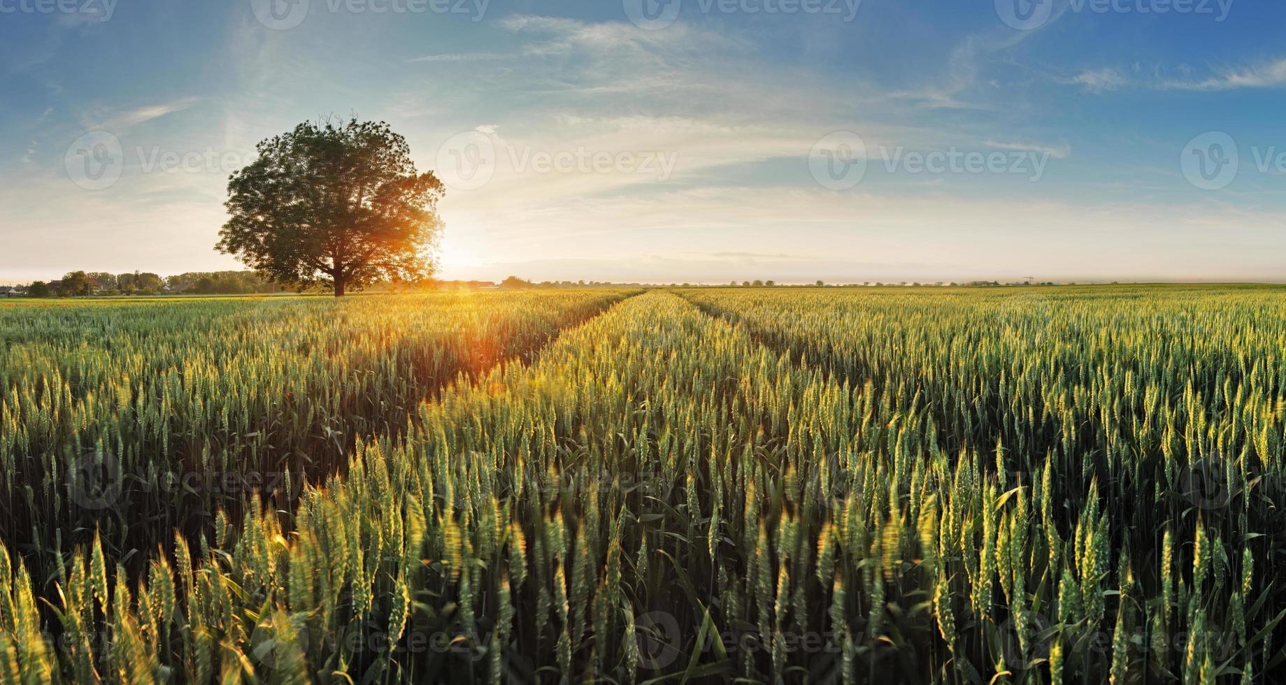 campo de trigo ao pôr do sol foto