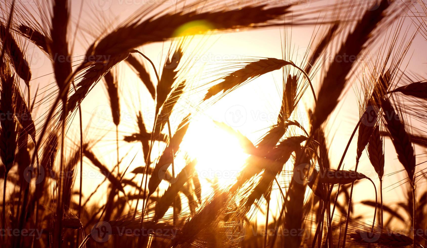 campo de trigo no nascer do sol de um dia ensolarado foto