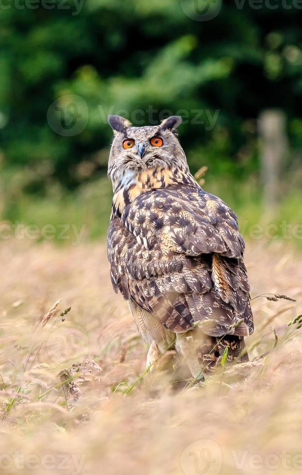 águia coruja sentada em um gramado foto