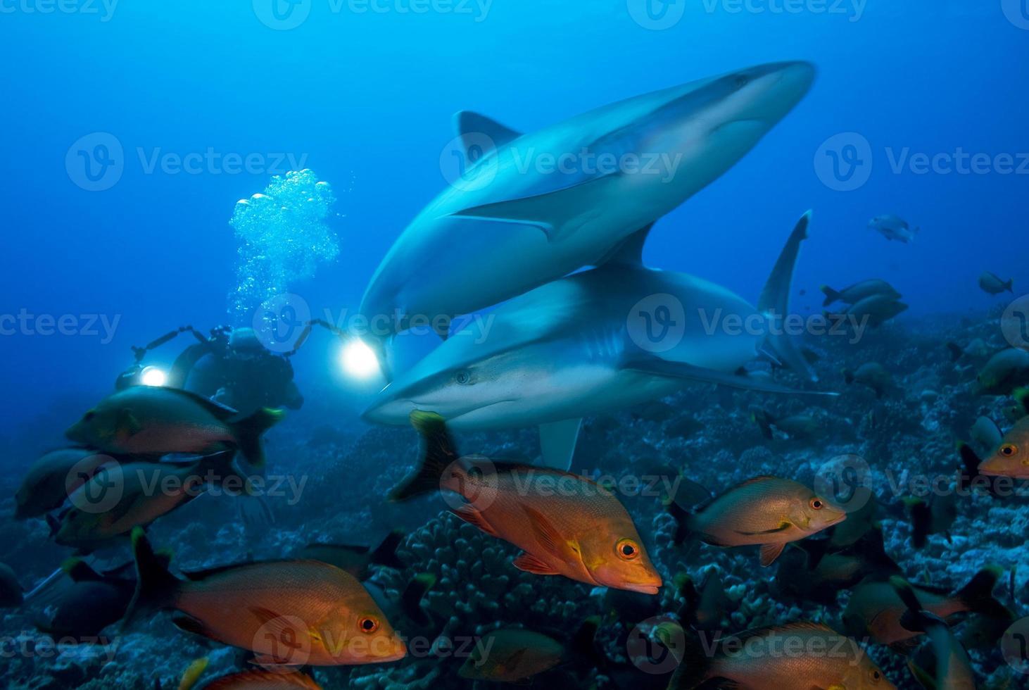 carcharhinus albimarginatus / tubarão silvertip foto