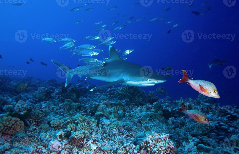 tubarão silvertip / carcharinus albimarginatus foto