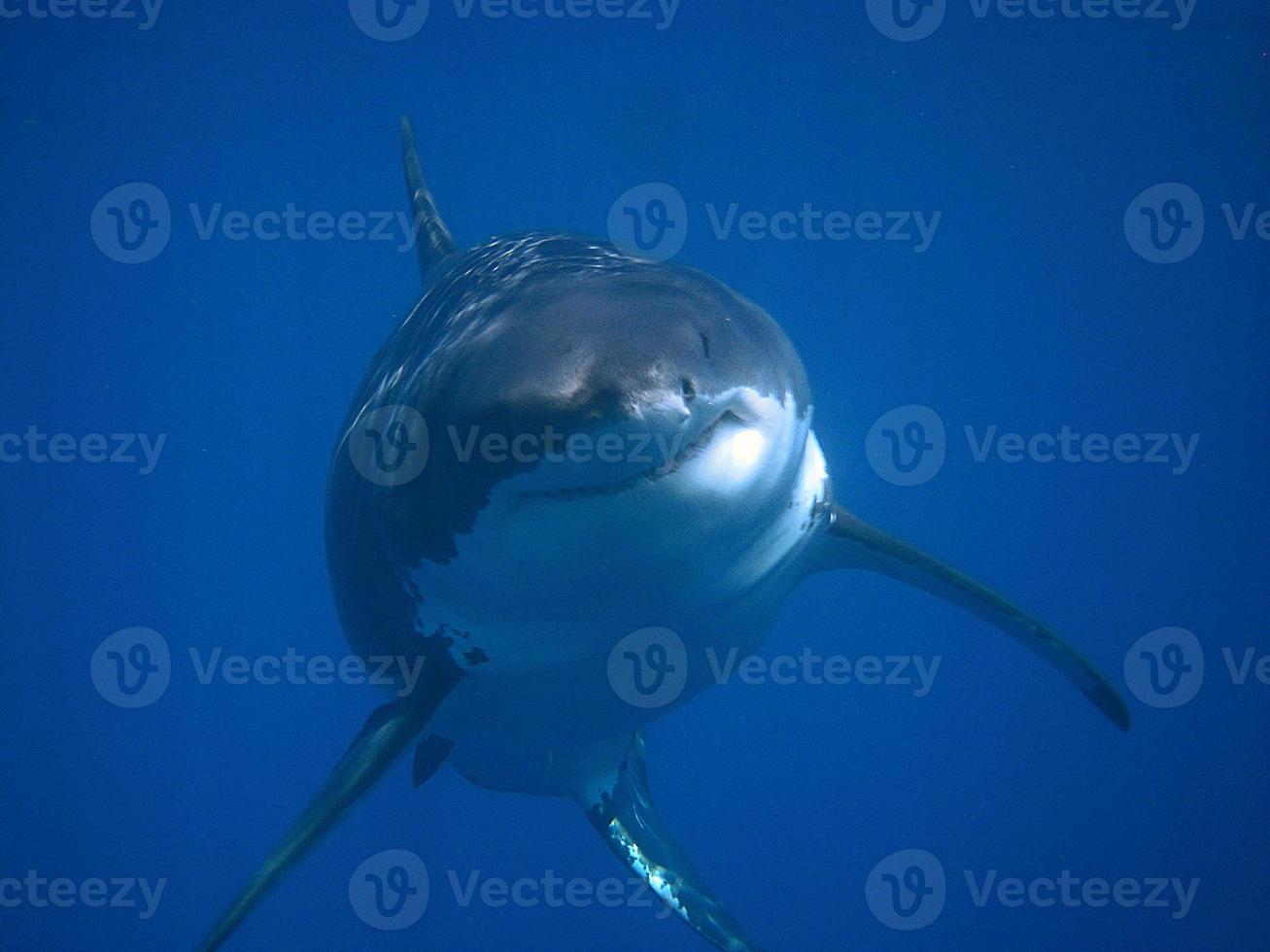 grande tubarão branco se aproximando de frente para a câmera. foto
