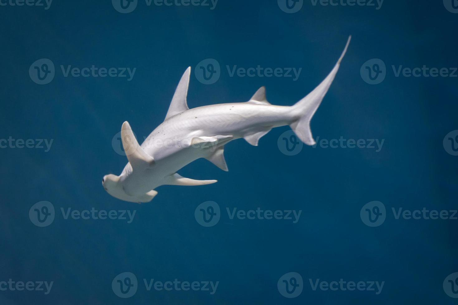 tubarão-martelo foto