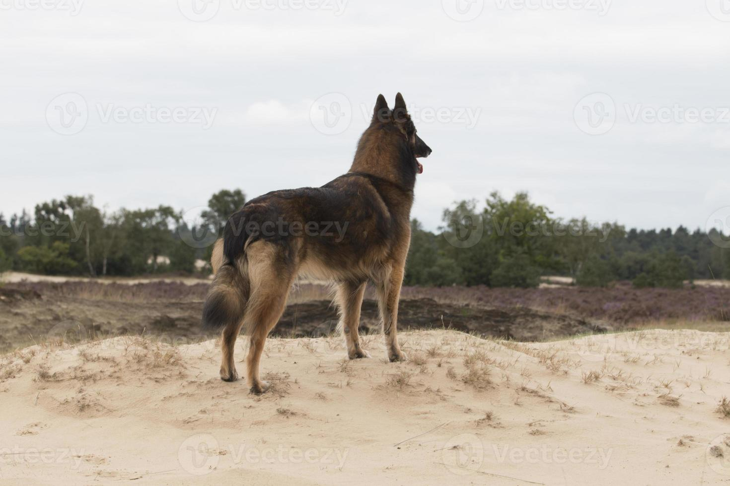cachorro, pastor belga tervuren, olhando para as dunas foto