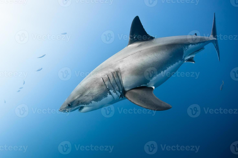 grande tubarão branco foto
