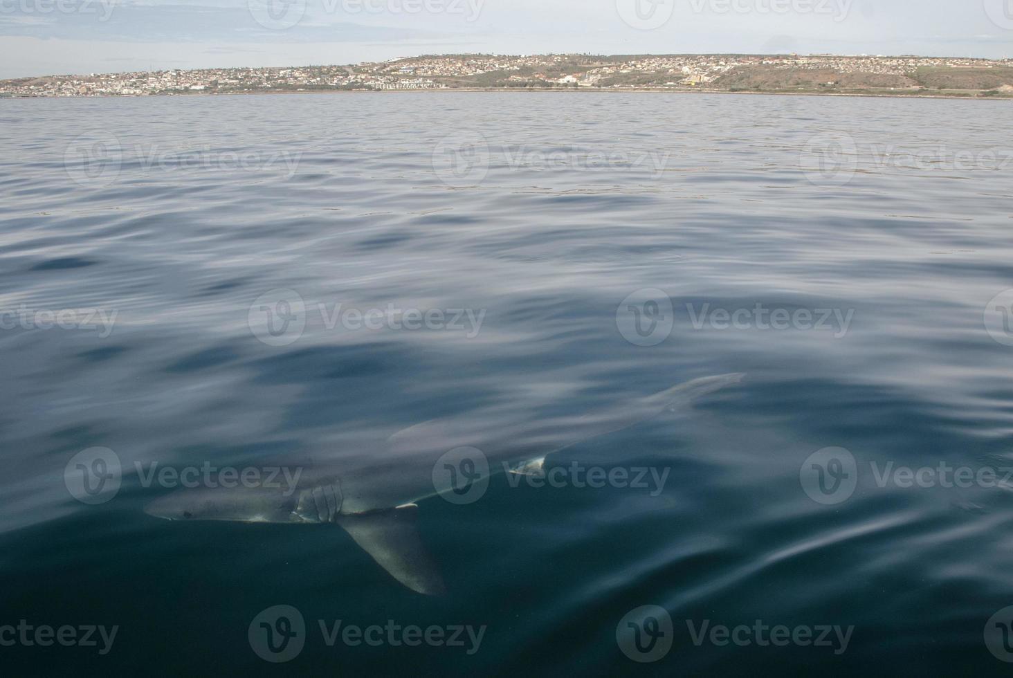 tubarão-branco (carcharodon carcharias) foto