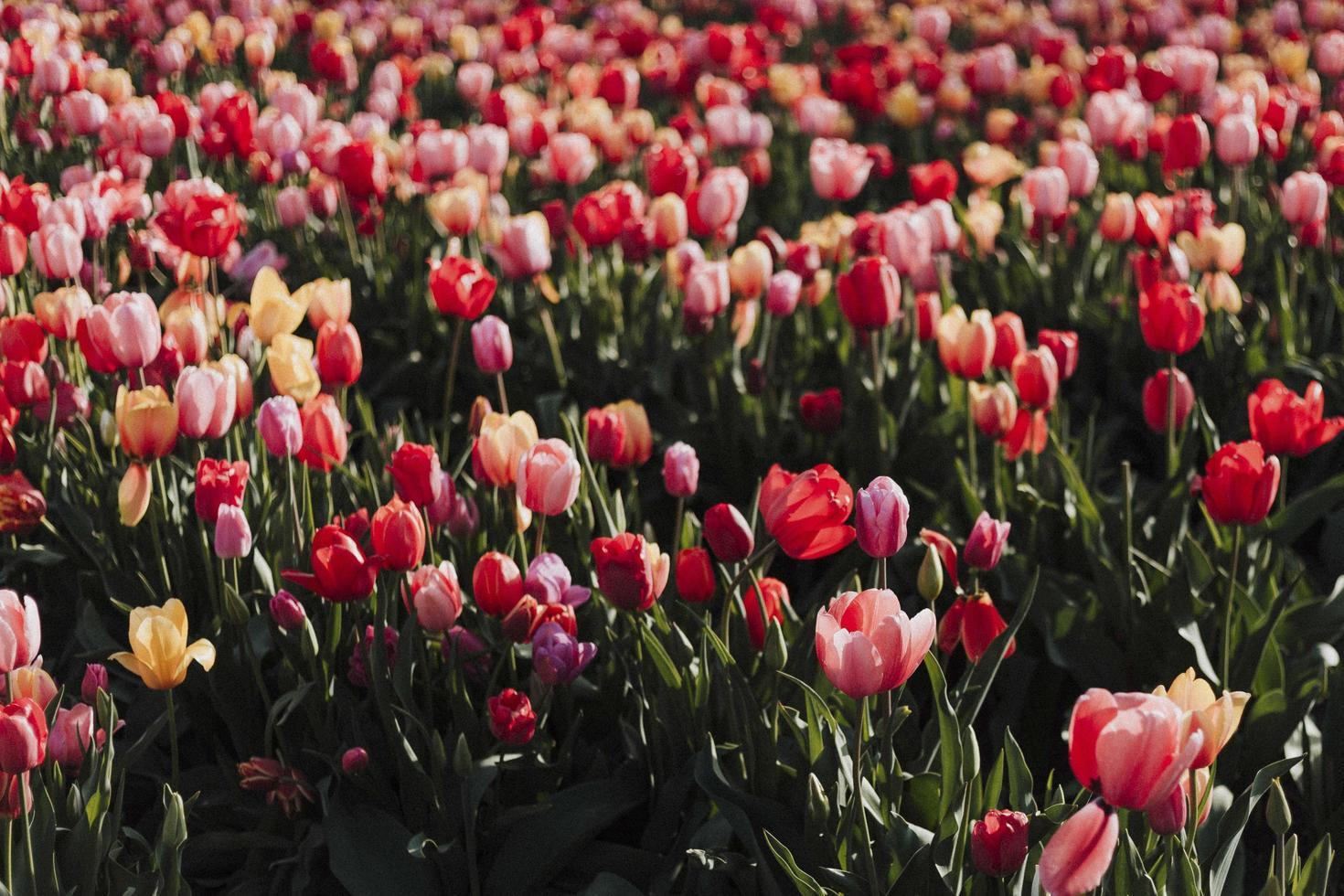 campo de tulipas vermelhas ao sol foto
